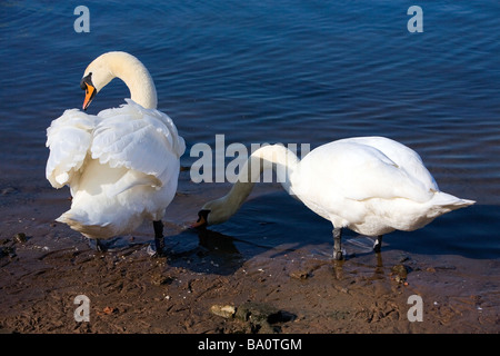 Two mute swans stand at the river's edge; one takes a drink in the shadow of the other which is pecking its feathers - Stock Photo