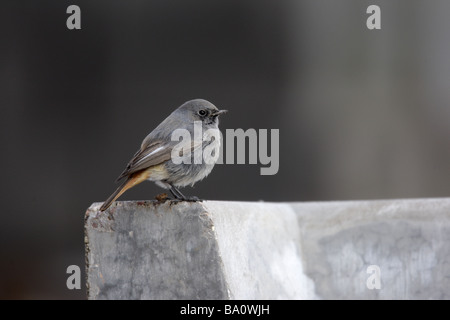 Black redstart Phoenicurus ochruros male Midlands winter - Stock Photo
