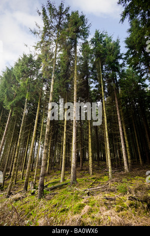 Dense managed forest of Scots Pine trees UK - Stock Photo