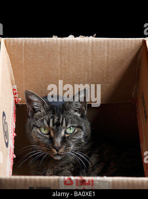 American Shorthair Cat in a cardboard box looking at camera with black background. - Stock Photo