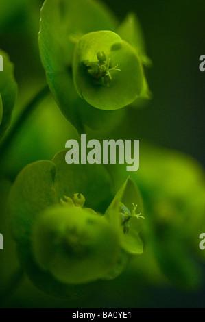 Wood Spurge. (Euphorbia amygdaloides) Close up - Stock Photo