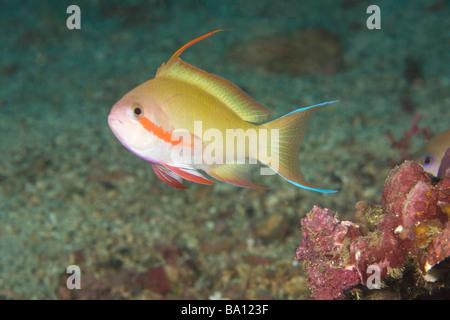 Puerto Galera, Philippines, Southeast Asia; Male Anthias fish (Pseudanthias sp) - Stock Photo