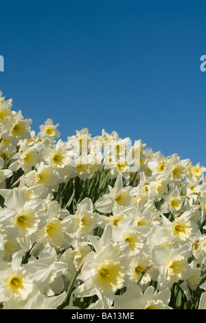 Field of jonquils - Stock Photo