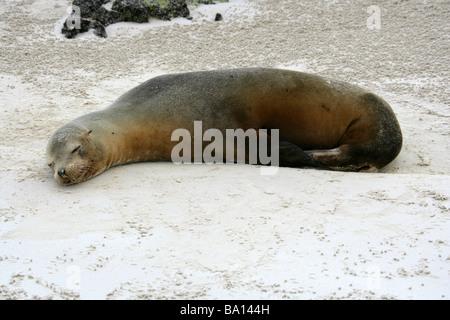Sleeping Galapagos Sea Lion, Zalophus wollebaeki, Cerro Brujo Beach, San Cristobal Island, Galapagos Archipelago - Stock Photo