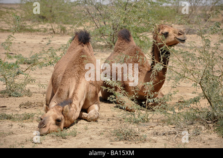 Two camels from a large herd grazing in the desert landscape near Hodka, Kutch, Gujarat,India - Stock Photo