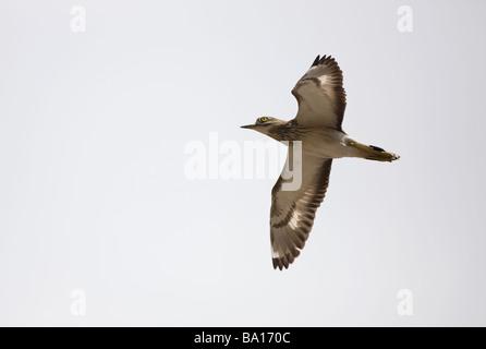 Stone curlew Burhinus oedicnemus in flight - Stock Photo