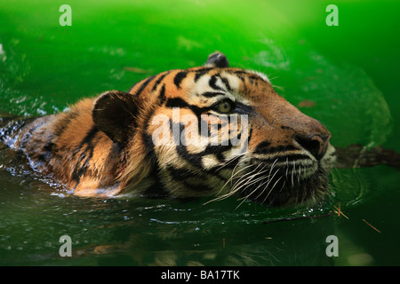 Bengal tiger Panthera tigris tigris swimming in the lake - Stock Photo