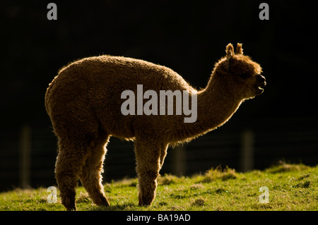 ALPACA Lama pacos - Stock Photo