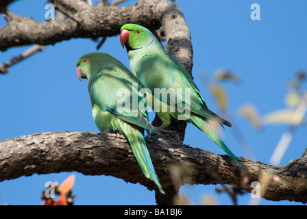A pair of Indian Rose-ringed Parakeets Psittacula sitting on a branch in Gujarat India - Stock Photo
