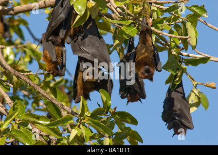 A group of fruit bats Indian Flying-foxes Pteropus giganteus resting at daytime in a colony in  Gujarat India - Stock Photo