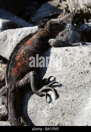 Marine Iguana aka Christmas Iguana, Amblyrhynchus cristatus, Iguanidae, Espanola (Hood) Island, Galapagos Islands, - Stock Photo