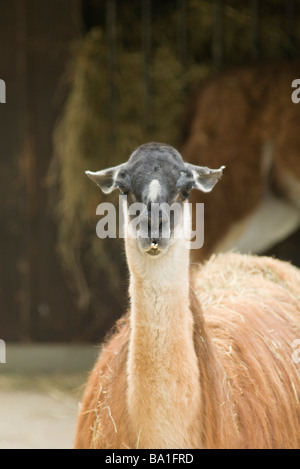 Guanaco (Lama guanicoe) - Stock Photo