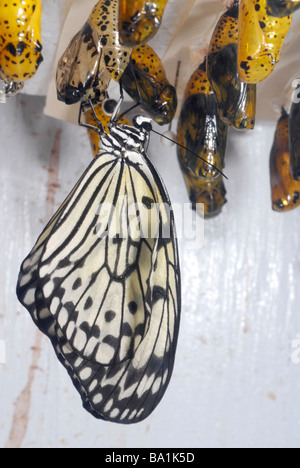 Paper Kite or the Rice Paper butterfly (Idea leuconoe) - Stock Photo