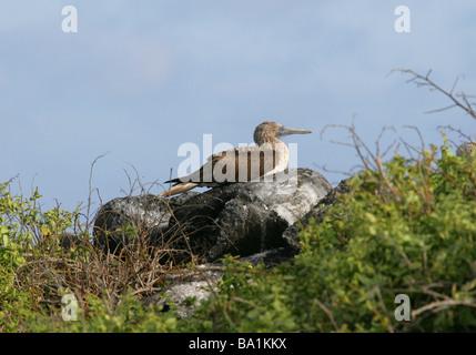 Blue-footed Booby, Sula nebouxii, Sulidae, Espanola Island, Galapagos Archipelago, Ecuador, South America - Stock Photo