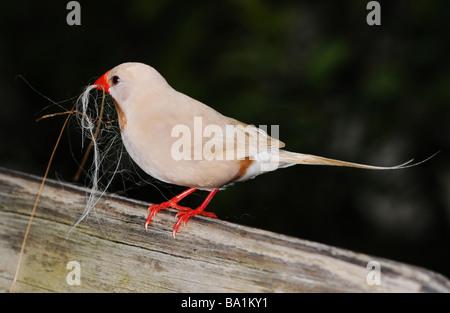 fawn shafttail finch, Black-heart Finch, Black-heart, Poephila acuticauda - Stock Photo