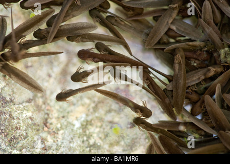 Newly hatched tadpoles of common frog, Rana temporaria, showing gills. UK - Stock Photo