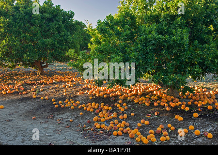 Fallen decaying  'Blood Oranges'  under trees. - Stock Photo