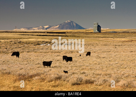 Cattle on the open range near Shelby, Montana - Stock Photo