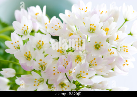 Bunch of Allium Flowers - Stock Photo