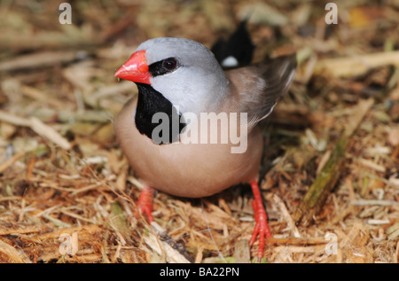 Shaft-tail finch photographed in captivity - Stock Photo