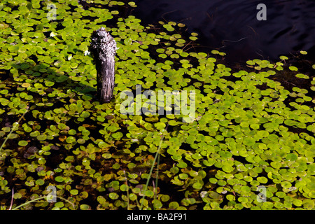 Swamp surface covered with water lilys. - Stock Photo