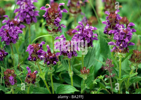 Common Selfheal (Prunella vulgaris), flowering stand - Stock Photo
