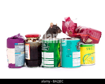 A brown rat surrounded by food, a rat in a kitchen. - Stock Photo