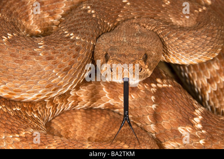 A defensive red-diamond rattlesnake (Crotalus ruber) - Stock Photo
