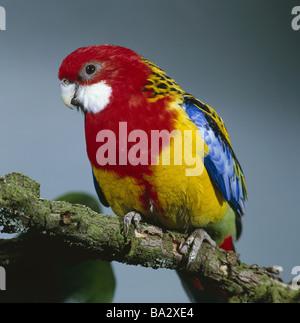 Branch Rosellasittich Platycercus eximius eximius wildlife animal bird parrot flat-tail-parakeet Eastern Rosella - Stock Photo