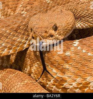 Red-diamond rattlesnake(Crotalus ruber), Riverside County, California, USA; rattlesnake posturing defensively - Stock Photo