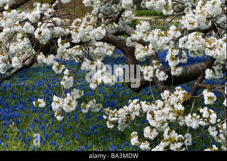 Prunus shirotae. Japanese cherry tree in blossom at RHS Wisley Gardens. Surrey, UK - Stock Photo