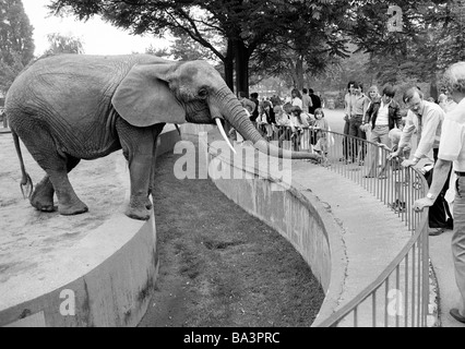 Eighties, black and white photo, human and animal, elephant in the Duisburg zoo stretches his trunk to get food - Stock Photo