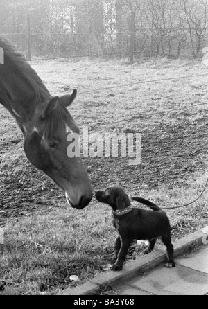 Seventies, black and white photo, humour, animals, horse and leashed dog view each other through a pasture fence - Stock Photo