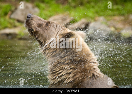 Grizzly shakes head to clear water while swimming at Wolverine Creek on  Big River Lakes in Southcentral Alaska - Stock Photo