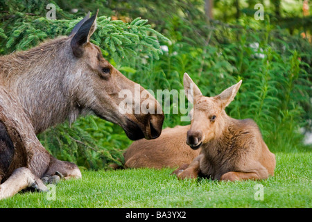 Cow Moose & Calves laying on lawn in Anchorage residents yard, SC Alaska Spring. - Stock Photo