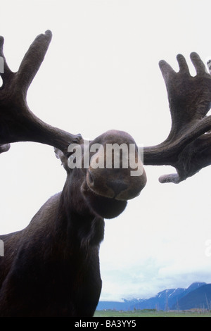 CAPTIVE: Low Angle view of a bull moose at the Alaska Wildlife Conservation Center CAPTIVE - Stock Photo