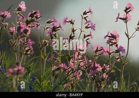 Red campion Silene dioica Melandrium rubrum and bluebells Marloes Pembrokeshire Wales UK Europe - Stock Photo