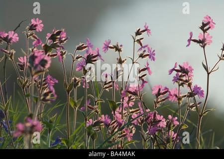 Red campion Silene dioica Melandrium rubrum Marloes Pembrokeshire Wales UK Europe - Stock Photo