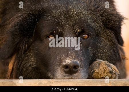 Black Mongrel dog resting on beach paracas national reserve Peru - Stock Photo