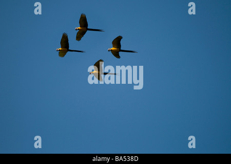Blue and Yellow Macaws in flight Ara ararauna, Pacaya Samiria National reserve, Amazon Rainforest, Peru - Stock Photo