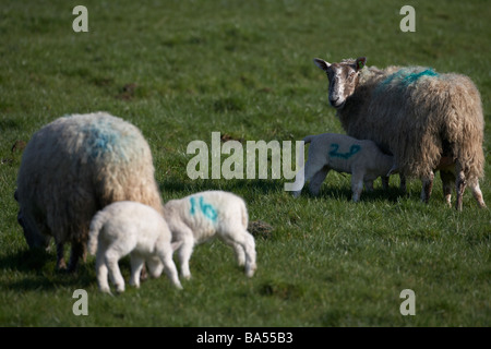 spring lambs with pairs of mother ewes feeding one ewe watching in a field county armagh northern ireland uk - Stock Photo