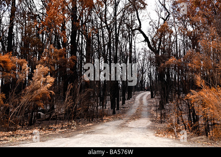 Country dirt road through a burnt eucalyptus forest after the black saturday bushfires Churchhill Victoria Australia - Stock Photo