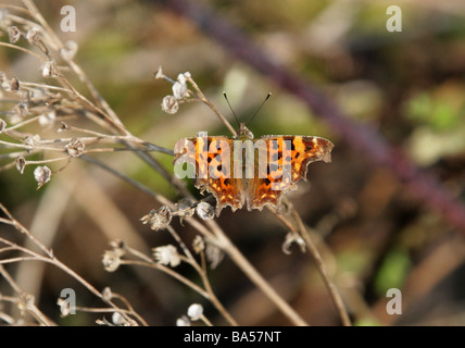 Comma Butterfly Polygonia c-album, Nymphalidae - Stock Photo