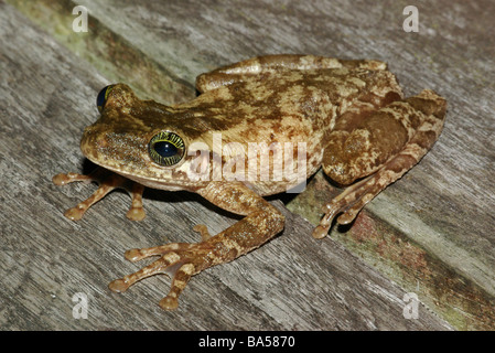 A Giant Broad-headed Treefrog (Osteocephalus taurinus) on a wooden platform in the Amazon flooded forest in Brazil. - Stock Photo