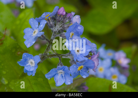 Wood Forget Me Not Myosotis Sylvatica 'forget me nots' - Stock Photo