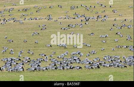 Flock of barnacle geese Branta leucopsis grazing in sheep pasture Dumfries shire Scotland February - Stock Photo