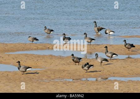 Flock of dark bellied brent geese Branta bernicla at rest on beach in Norfolk - Stock Photo