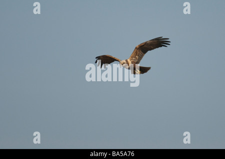Marsh harrier Circus aeruginosus adult female in flight Norfolk March - Stock Photo
