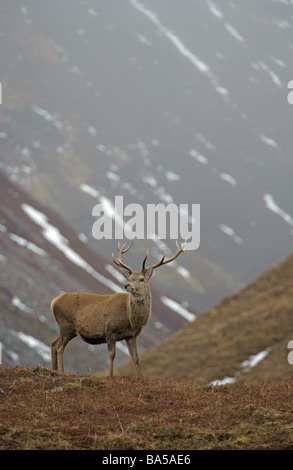 Red deer Cervus elephas stag in winter glen Alladale Sutherland Scotland February - Stock Photo
