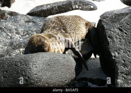 Sleeping Galapagos Sea Lion, Zalophus wollebaeki, Espanola Island, Galapagos Archipelago, Ecuador - Stock Photo